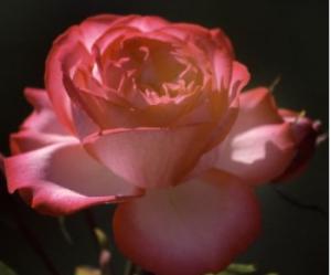 Single_Rose