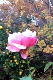 rose in winter photo
